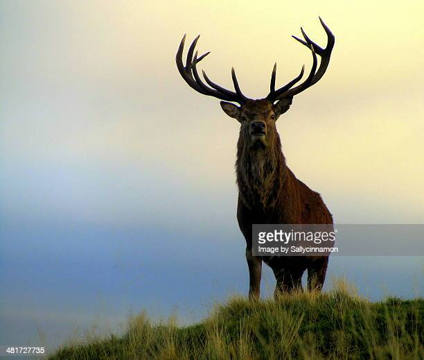 Red deer stag (King of the Hill)