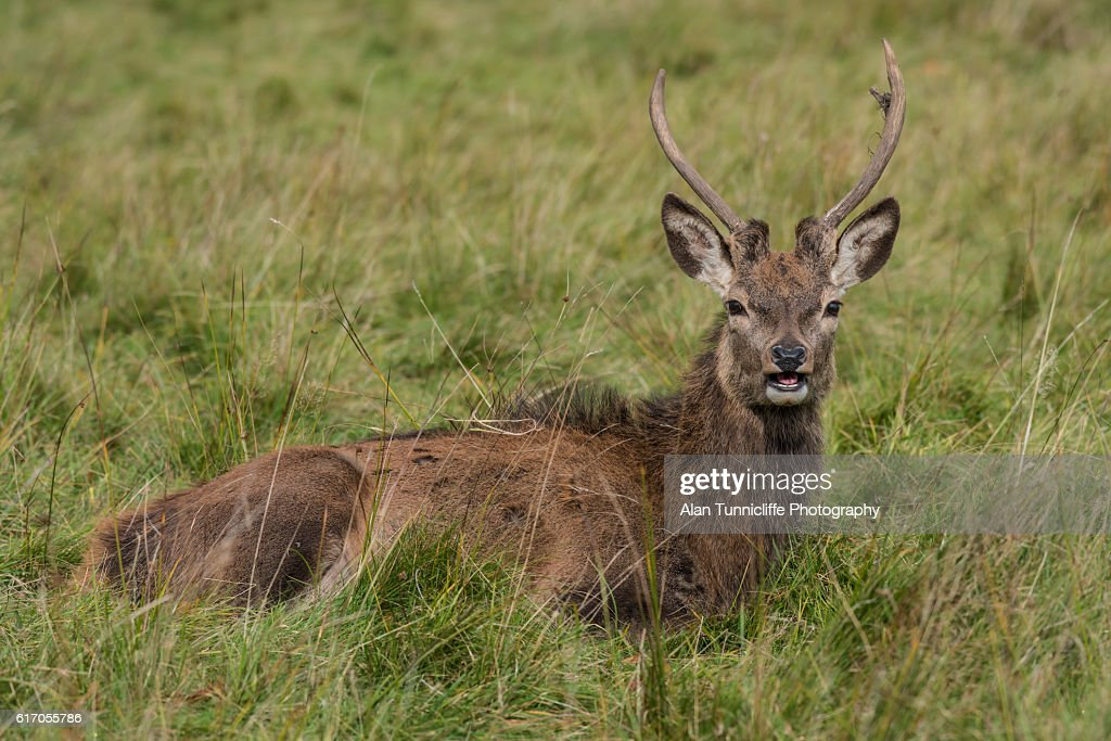 Red deer stag : Stock Photo