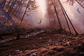 Stunning image of red deer stag in foggy Autumn colorful forest landscape image'n