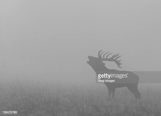 Red deer stag roaring in mist