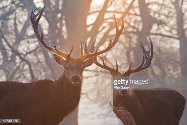 Red deer stags, Cervus elaphus, stand in a forest on a misty morning.