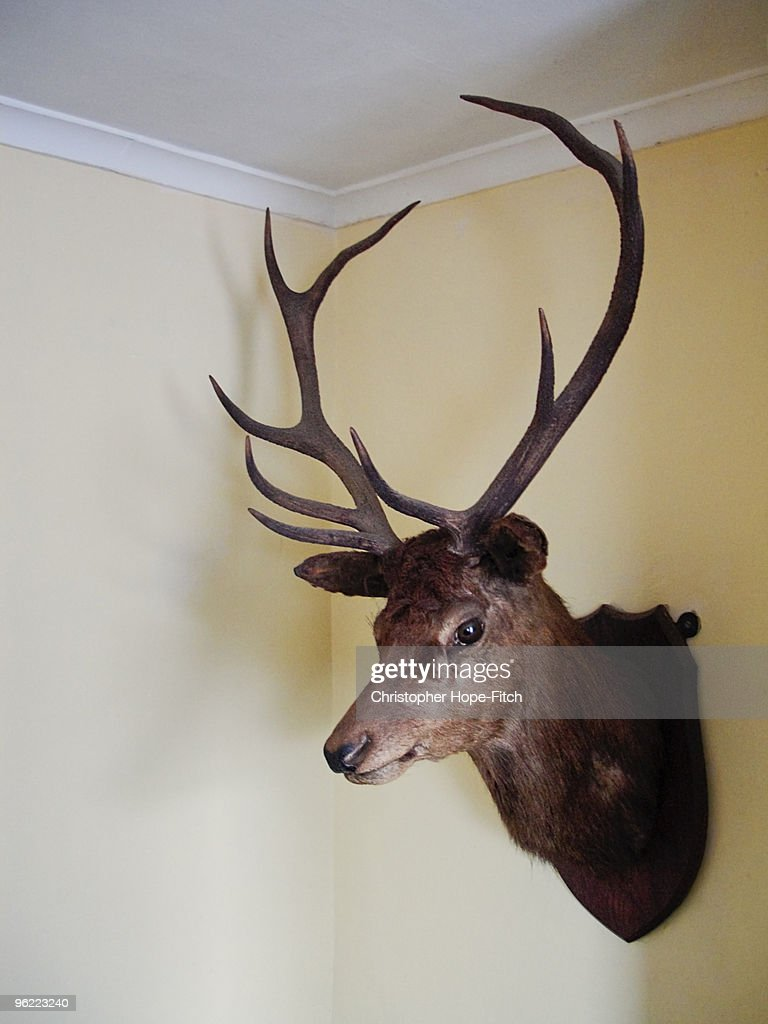 Red Deer Stag's head : Stock Photo