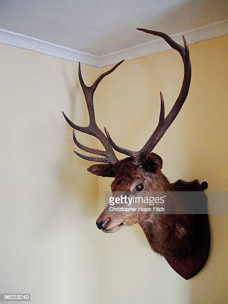 Red Deer Stag's head