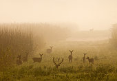 Red deer with herd of hinds on meadow with reed on foggy morning in mating season. Wildlife in natural habitat