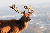 Closeup of red deer/stag overlooking the Bristol city skyline - taken at Ashton Court Estate