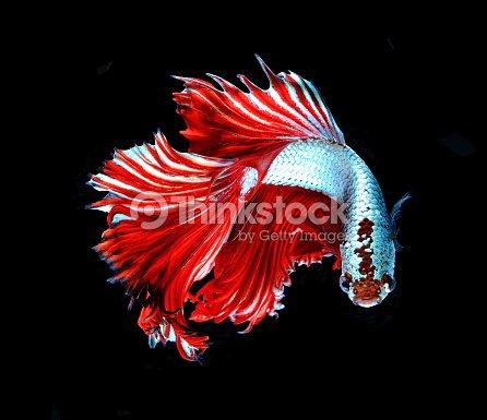 Rouge dragon poisson combattant siamois betta poisson for Nourriture pour poisson combattant