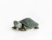 Red eared Slider turtle (Trachemys scripta elegans) on white background. Selective focus. Close up.