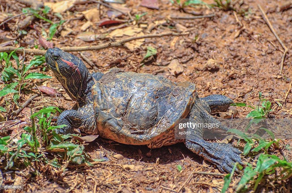 Vermelho Tartaruga-Trachemys scripta elegans : Foto de stock