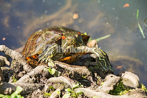 Red Eared Turtle : Stock Photo