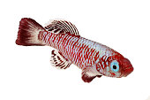 Red eggersi killifish aquarium fish Nothobranchius eggersi