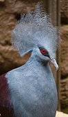 Blue crown pigeon with red eyes.