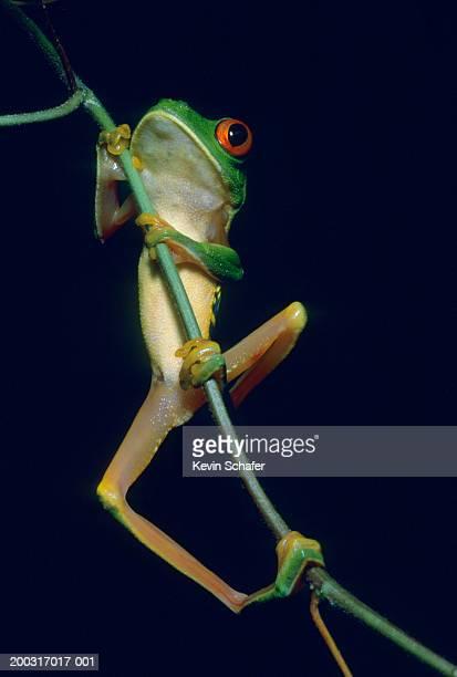 Red Eyed Tree Frog (Agalychnis callidryas) climbing branch