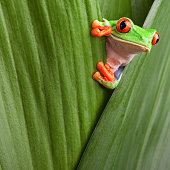 red eyed tree frog, Agalychnis callidrias, looking curious from hiding place between green leafs rainforest Costa Rica