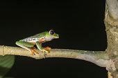 Red eyed tree frog with black background in nighttime jungle.
