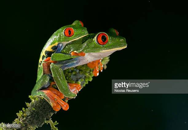 Red eyed tree-frog