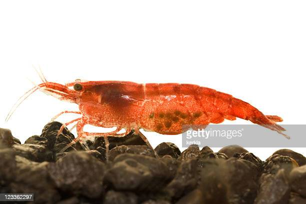 Red Fire Dwarf Shrimp with eggs