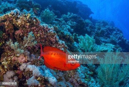 Red Fish : Stock Photo