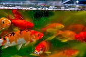 Red Fishes in an Aquarium at Beijing