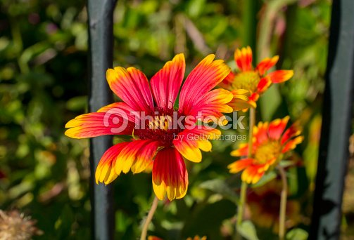 Red flower with yellow tips stock photo thinkstock red flower with yellow tips stock photo mightylinksfo