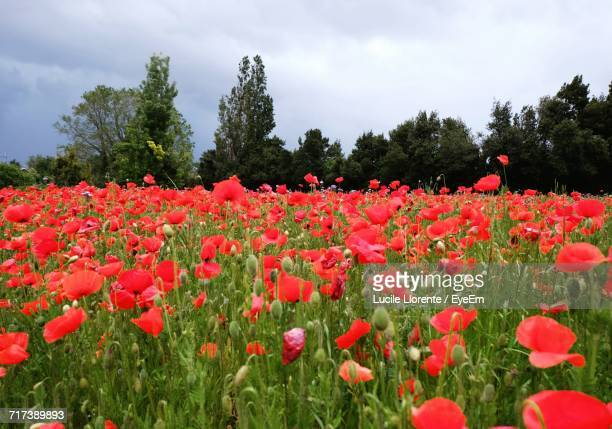 Red Flowers Blooming On Field Against Sky