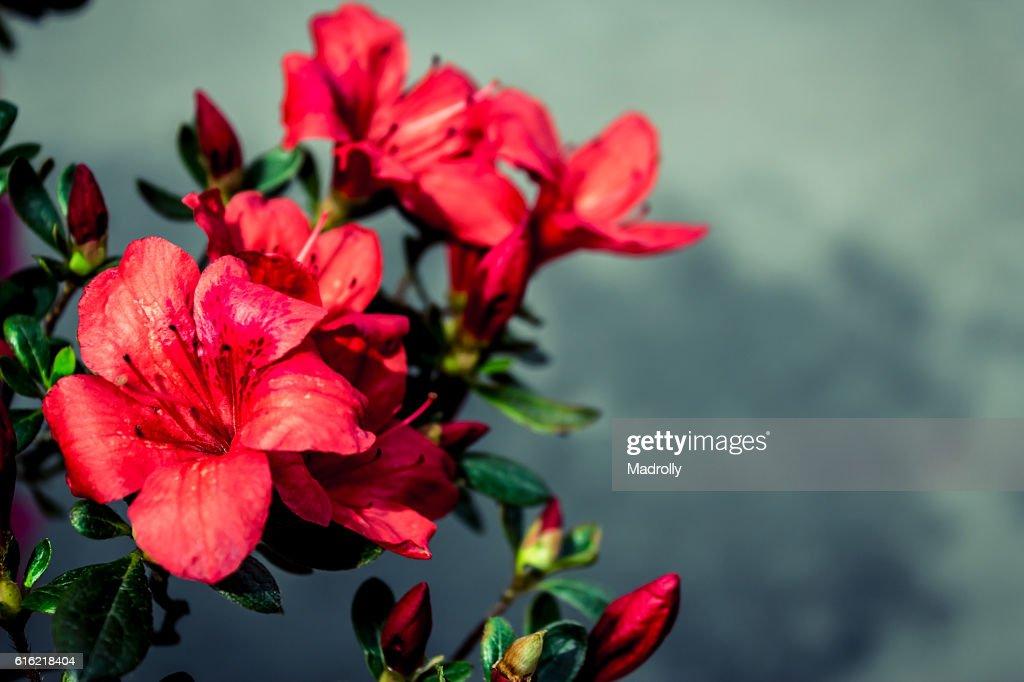 Fleurs rouges  : Photo