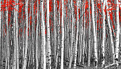 Red trees in a black and white forest landscape