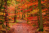 Red forest in the autumn in Europe