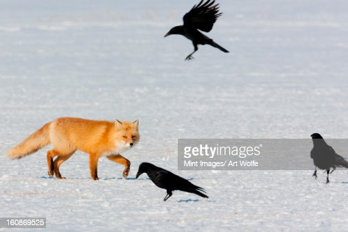 Red fox and crows, Hokkaido, Japan : Stock Photo