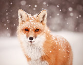 An intent stare, a look of interest as snow softly falls on a red fox.