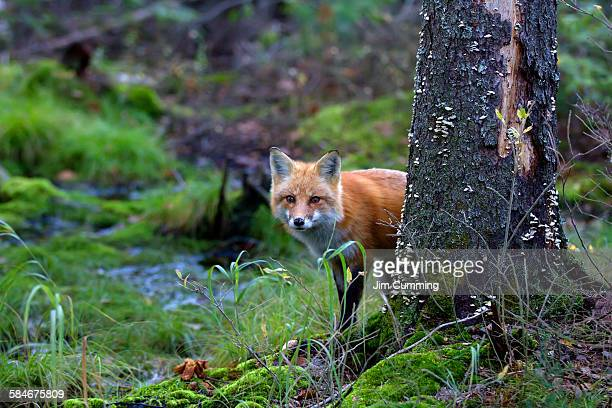 Red Fox behind Tree