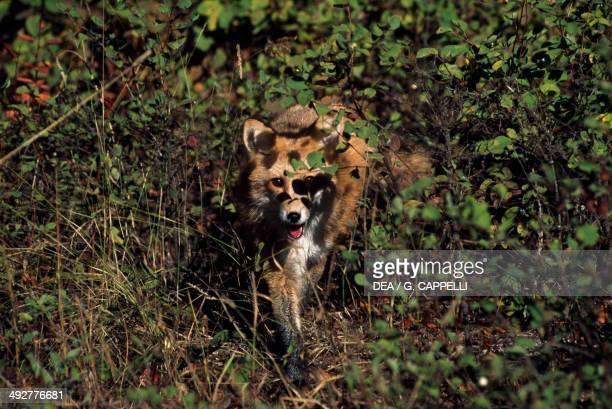 Red Fox Canidae Bosco della Mesola Natural Reserve EmiliaRomagna Italy