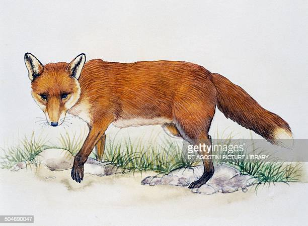Red Fox Canidae drawing