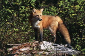 Red Fox Canidae