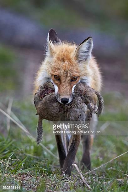 Red Fox (Vulpes vulpes or Vulpes fulva) carrying Uinta Ground Squirrel (Urocitellus armatus) prey, Yellowstone National Park, Wyoming, USA