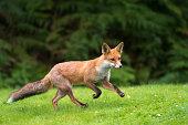 Red fox cub running