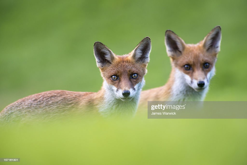 Red fox cubs portrait : Stock Photo