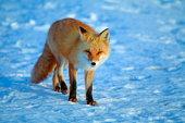 Red Fox, Hokkaido Prefecture, Japan