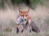 Red fox hunting prey.