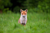 Red Fox (Vulpes vulpes) in grass and woodland