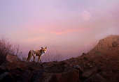 Red Fox in mountain area at evening