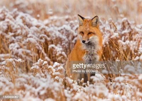 Red fox in snow field