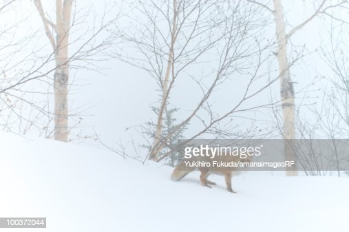 Red fox in snow in forest