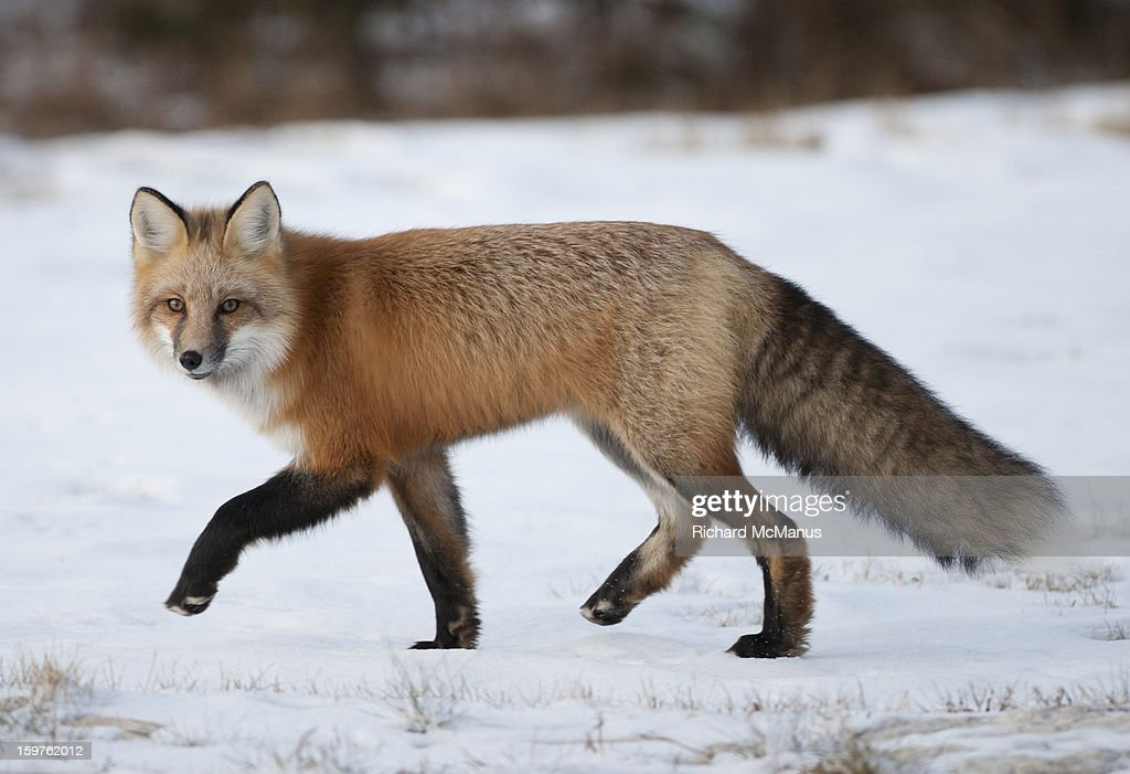 Red fox in Tundra : Stock Photo