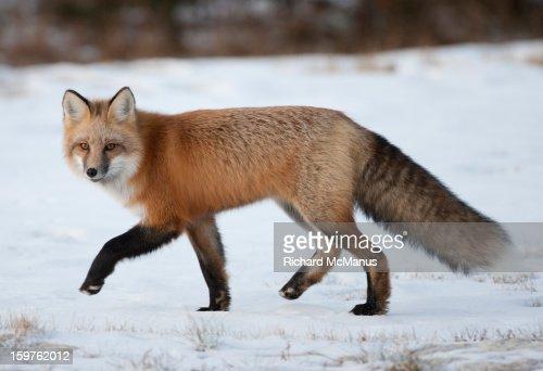 Red fox in Tundra : Stock Photo