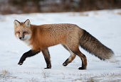 Red fox in Tundra
