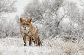 A red fox during wintertime, snowfall and cold weather.