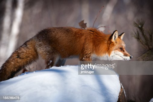 Red fox in winter snow.