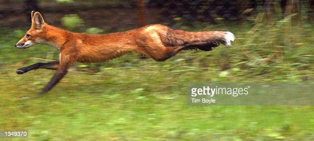 A red fox is seen scurrying through a forest preserve August 22 2002 in Des Plaines Illinois Foxes belong to the same family as domestic dogs coyotes...