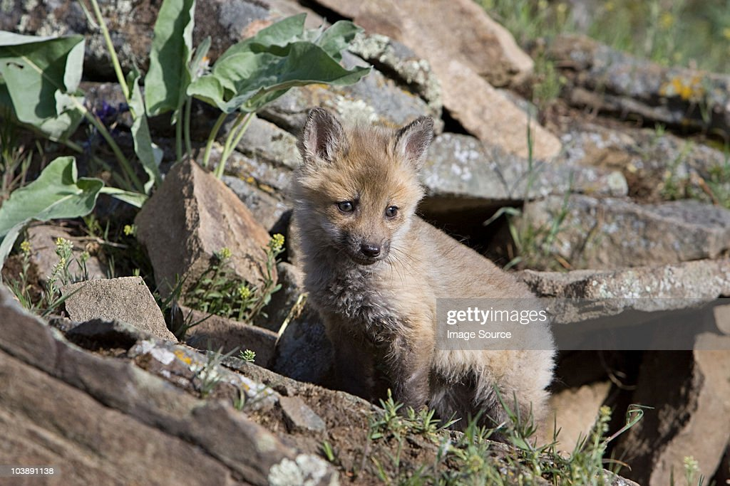 Red fox kit : Stock Photo