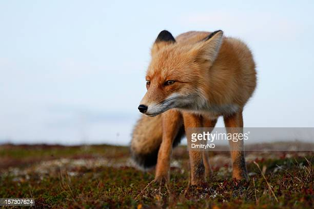 Red fox. Look.